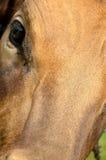 母牛眼睛 库存图片