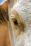 母牛眼睛 免版税图库摄影
