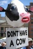 母牛穿上有游行自豪感t素食主义者 免版税库存图片