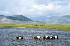 母牛穿过Darkhad谷的一条宽河 免版税库存照片