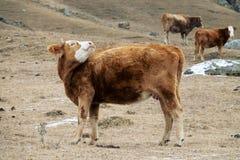 母牛红色衣服和强的体质在仓库广场 免版税库存照片