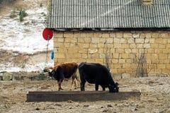 母牛红色衣服和强的体质在仓库广场 免版税库存图片