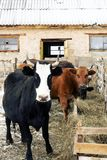 母牛红色衣服和强的体质在仓库广场 库存图片