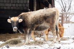 母牛红色衣服和强的体质在仓库广场 免版税图库摄影