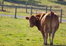 母牛红色 免版税图库摄影