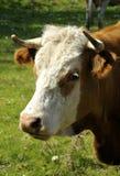 母牛纵向瑞典 免版税库存照片