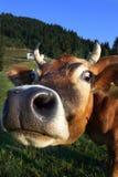 母牛纵向 图库摄影