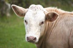 母牛纵向 库存照片