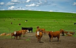 母牛绿色牧场地 库存图片