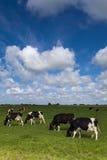 母牛绿色草甸 免版税图库摄影