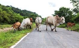 母牛群在路旁边哺养 库存图片