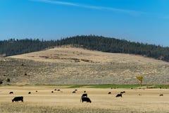 母牛群横向蒙大拿 免版税库存图片