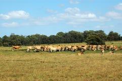 母牛群 免版税图库摄影