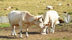 母牛群 图库摄影