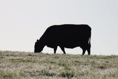 母牛自然剪影 免版税库存图片