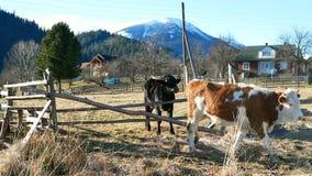 母牛自然山 影视素材