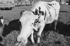 母牛舔一只胜过的手的手指(黑白) 免版税图库摄影