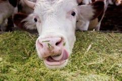 母牛舔嘴唇 库存图片
