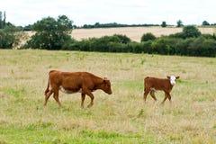 母牛英语 免版税库存图片