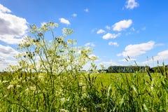 母牛荷兰芹和开花的草在路旁 库存照片