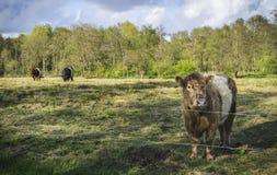 母牛荷兰语 库存照片