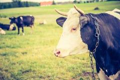 母牛葡萄酒照片在牧场地的 图库摄影