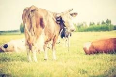 母牛葡萄酒照片在牧场地的 免版税库存图片
