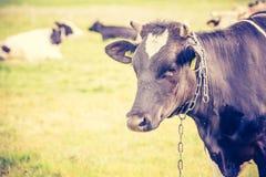 母牛葡萄酒照片在牧场地的 库存图片