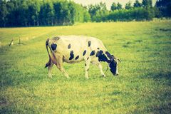 母牛葡萄酒照片在牧场地的 库存照片