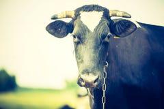 母牛葡萄酒画象在牧场地的 免版税库存照片