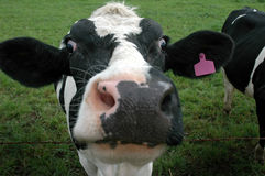 母牛表面 免版税图库摄影