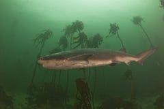 母牛被伤害的鲨鱼 免版税图库摄影