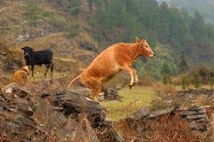 母牛触击 免版税库存照片