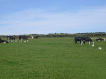 母牛调遣吃草 库存照片