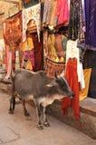 母牛购物 免版税图库摄影