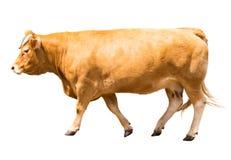 母牛走 库存照片