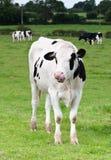 母牛身分 免版税图库摄影