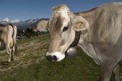 母牛迷路 免版税库存照片