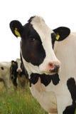母牛逗人喜爱查找 免版税库存照片