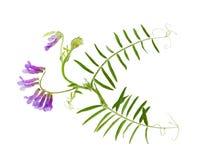 母牛通配花的巢菜属植物 图库摄影