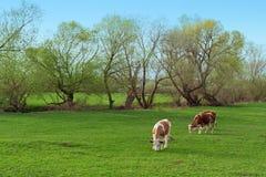 母牛释放吃草 免版税图库摄影