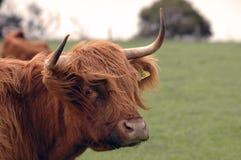 母牛长毛的纵向 图库摄影