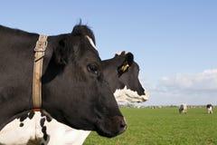 母牛顶头黑白花牛配置文件 图库摄影