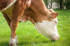 母牛顶头射击 母牛吃在natue背景的草特写镜头 图库摄影