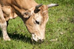 母牛顶头特写镜头 免版税图库摄影