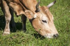 母牛顶头特写镜头 免版税库存照片