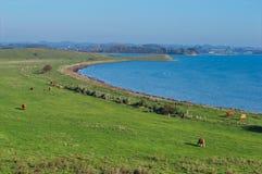 母牛领域风景 免版税库存照片