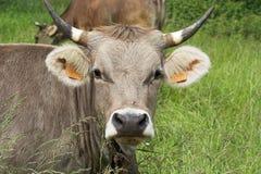 母牛题头 免版税图库摄影