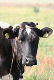 母牛题头 库存照片