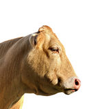 母牛题头 图库摄影